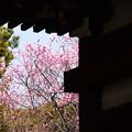 写真: 庭園の紅梅