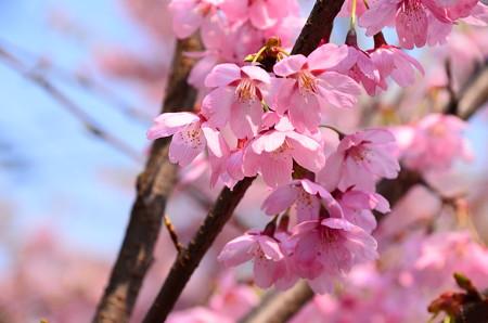 一条戻橋の桜