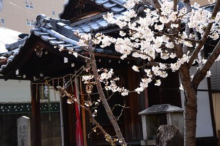 染井吉野咲く桜宮神社