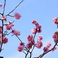 写真: ピンクの梅