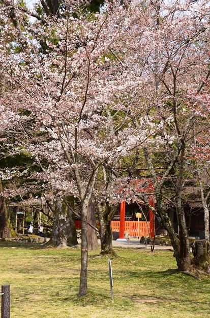 3分咲きの染井吉野(ソメイヨシノ)