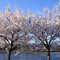 中ノ島公園の染井吉野