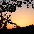 Photos: 桜夕陽