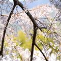 枝垂れ桜の中に~