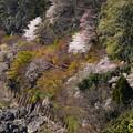 桜の中を走るトロッコ列車