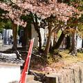 Photos: 散る桜と散り椿