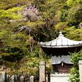 Photos: お堂の奥に咲く桜