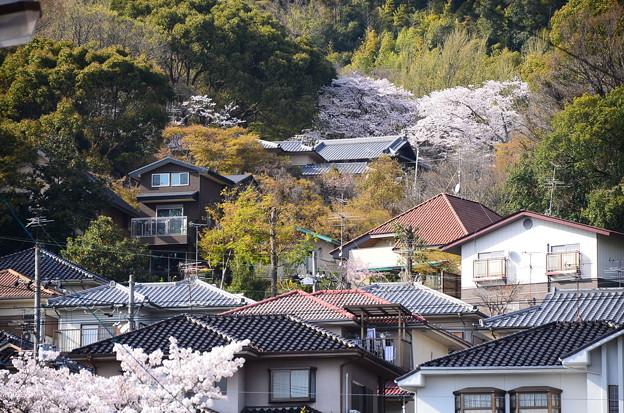 JR山崎駅脇から見る桜風景