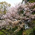 北野天満宮の桜