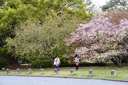 出水の桜達も見頃に~