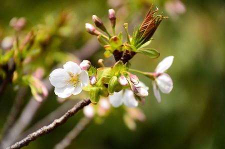 まだ咲き始めの桜