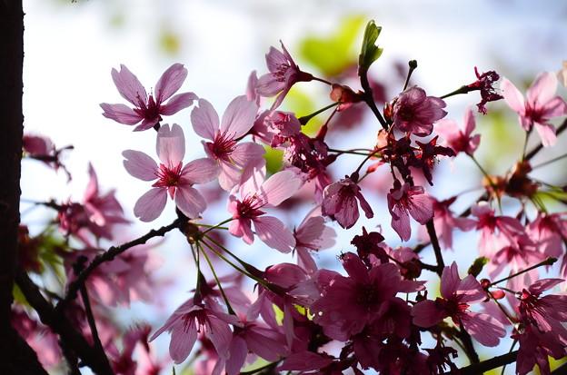 雅桜?それとも横浜緋桜?