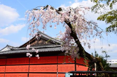 八重紅枝垂れ咲く車折神社