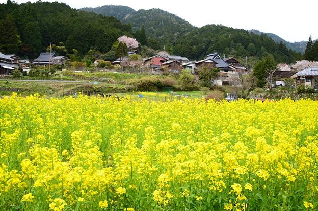 菜の花と桜の大原