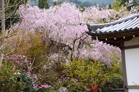 八重紅枝垂れと石楠花咲く三千院
