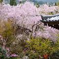 写真: 八重紅枝垂れと石楠花咲く三千院
