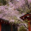 Photos: 三千院の八重紅枝垂れ