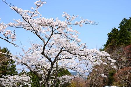 横川バス停脇の桜