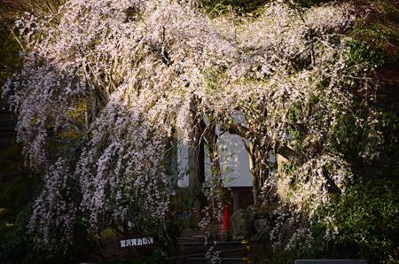 根本中堂向かいの枝垂れ桜