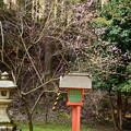 写真: 西塔の梅