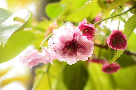 咲き始めた突羽根(ツクバネ)