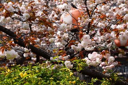 普賢象と咲き始めた黄木香薔薇