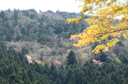 境内から見る山桜