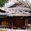写真: 寂光院の桜