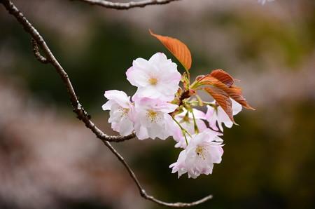 寂光院の桜