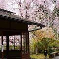 写真: 春雨のように~