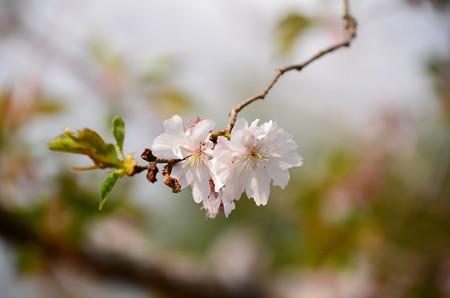 不断桜と言われていますが、、、