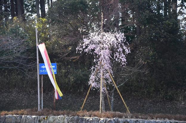 西塔バス停付近の桜