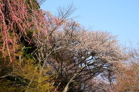 山桜と咲き始めた八重紅枝垂れ