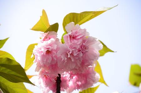 緋桜(ヒザクラ)