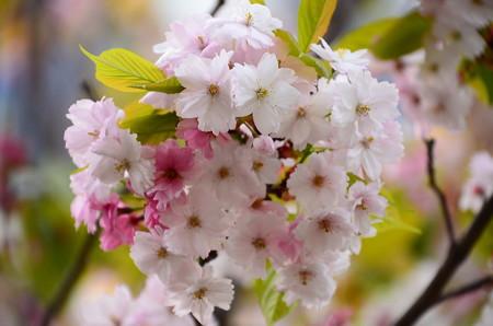 奈良八重桜(ナラノヤエザクラ)
