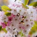 写真: 奈良八重桜(ナラノヤエザクラ)
