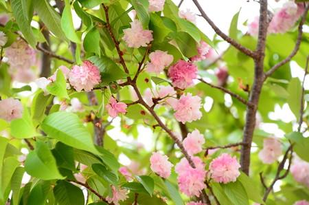 二度桜(ニドザクラ)