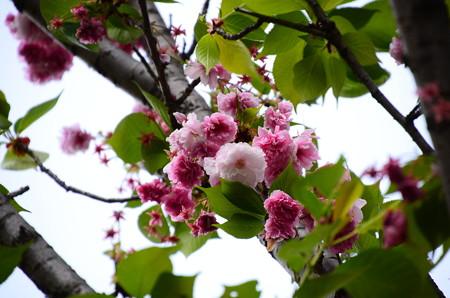 松前琴糸桜(マツマエコトイトザクラ)
