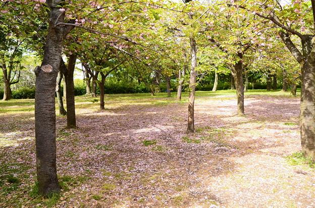 散り桜の風景
