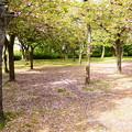 写真: 散り桜の風景