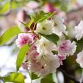 写真: 塩竃桜(シオガマザクラ)