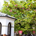 写真: 桜の通り抜け