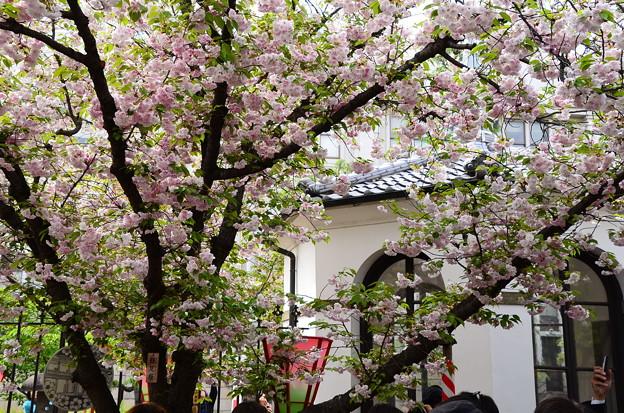鎌足桜(カマタリザクラ)
