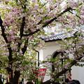 写真: 鎌足桜(カマタリザクラ)