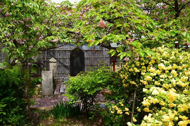 黄木香薔薇と桜のゑんま堂