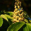 写真: 栃の木(トチノキ)