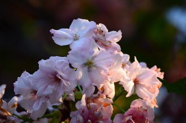 宮内庁事務所の桜