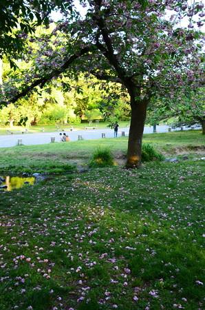 奈良の小川の散り桜