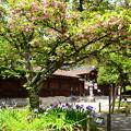 突羽根(ツクバネ)と鳶尾の平野神社