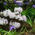 石楠花と鳶尾